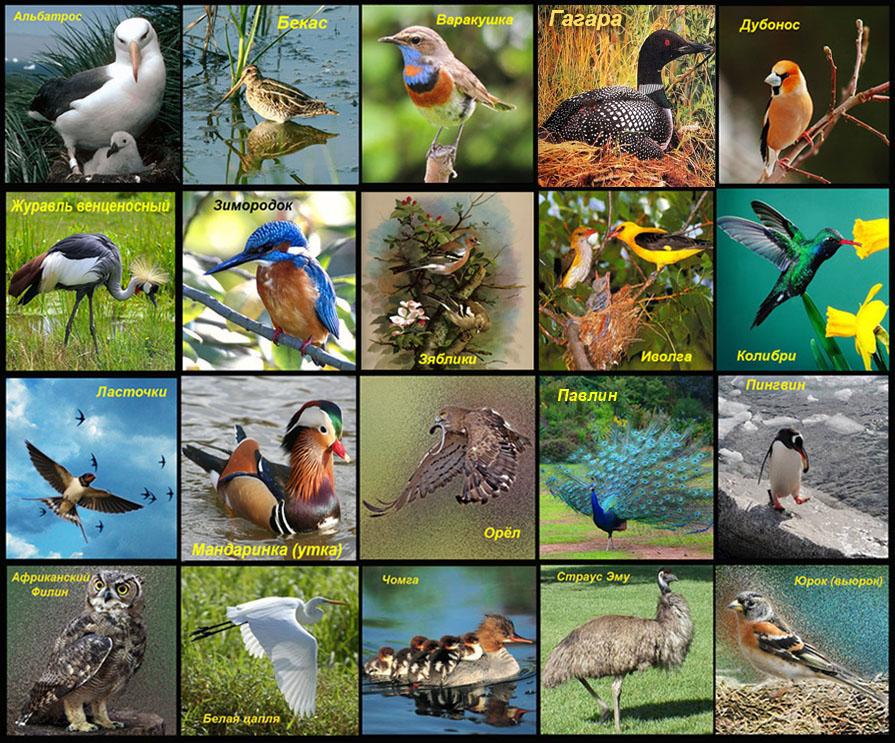 Все птицы по алфавиту