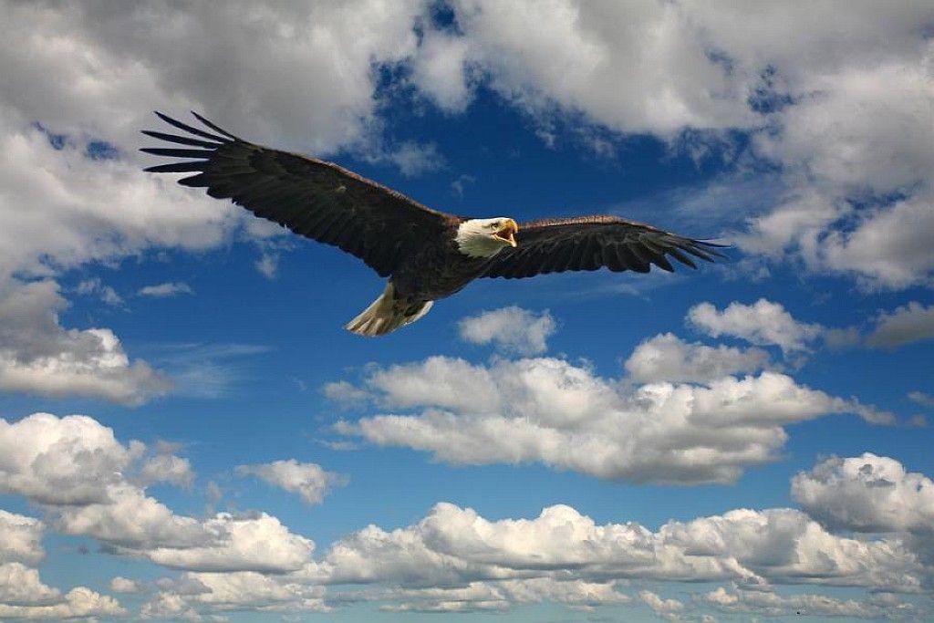 Картинка орел парит в небе