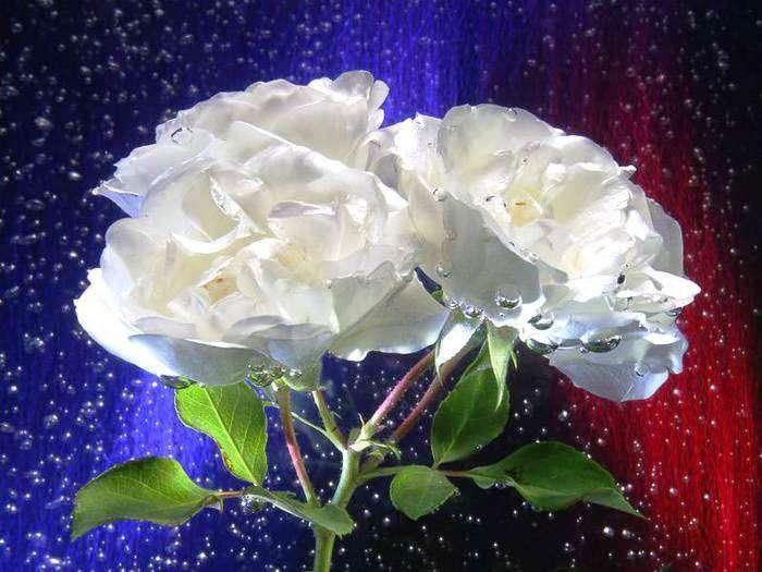 фотографии белых роз гиф малогабаритная