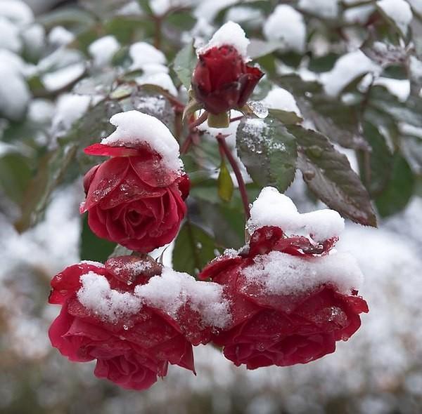 Белочки, гифка роза на снегу