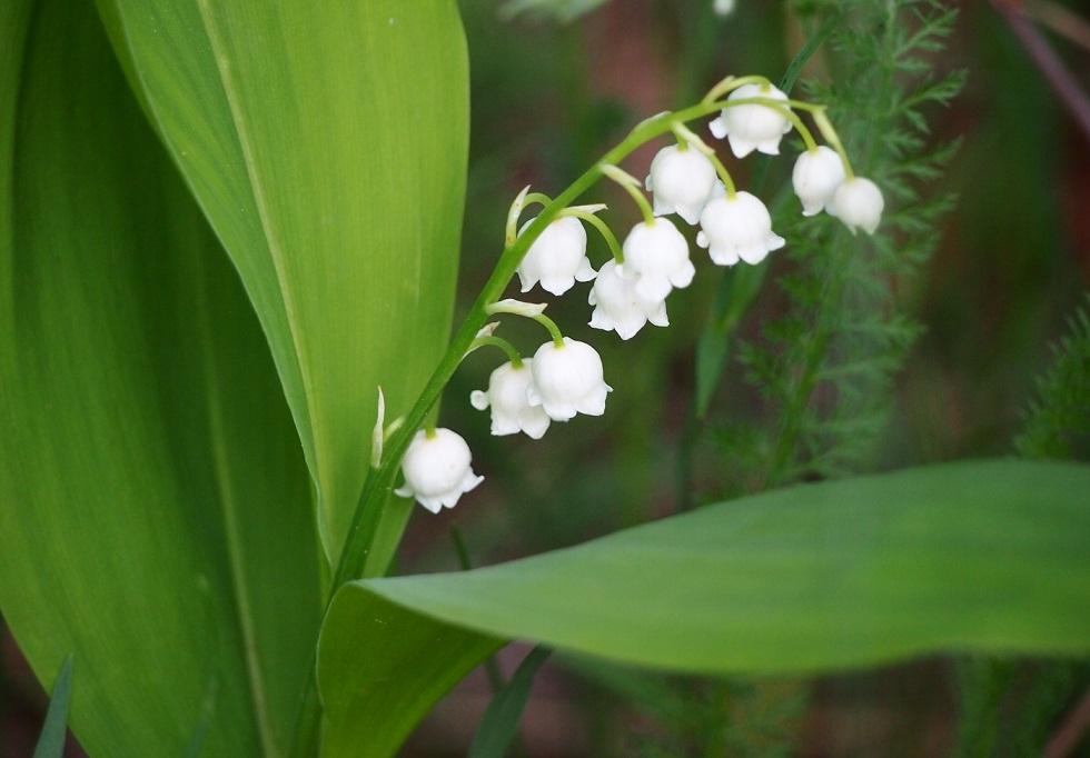 ландыш серебристый цветок фото желание высадить