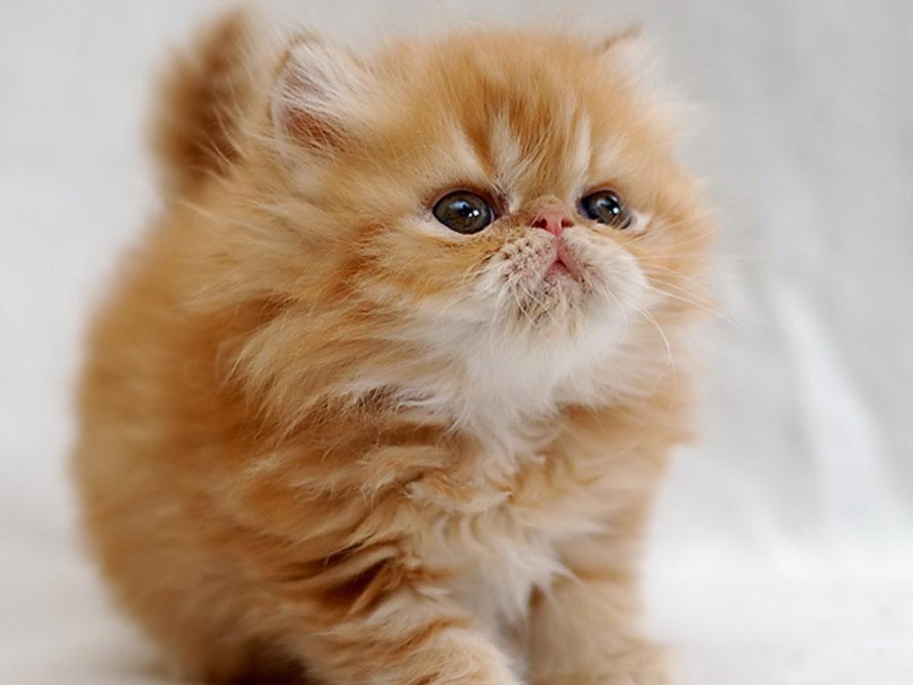 Открытки коты персы, мире