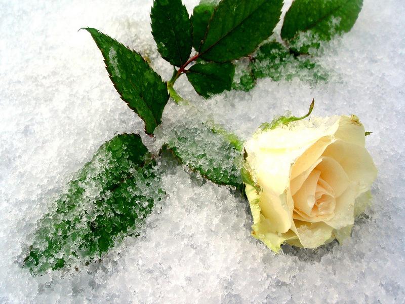 фото белой розы на снегу одном