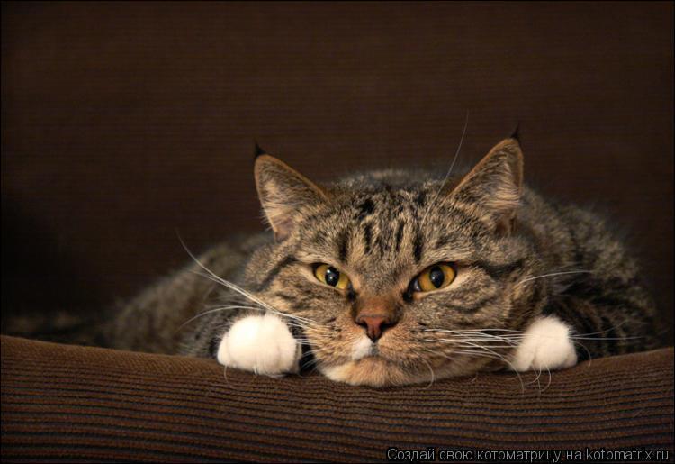 Говорящие коты люблю куру