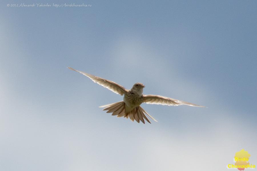 Жаворонок в небе фото птицы металл