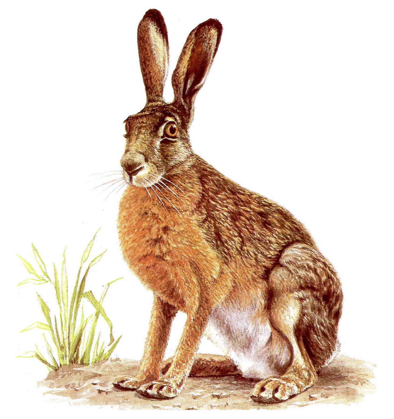 Заяц прозрачный фон картинка для детей