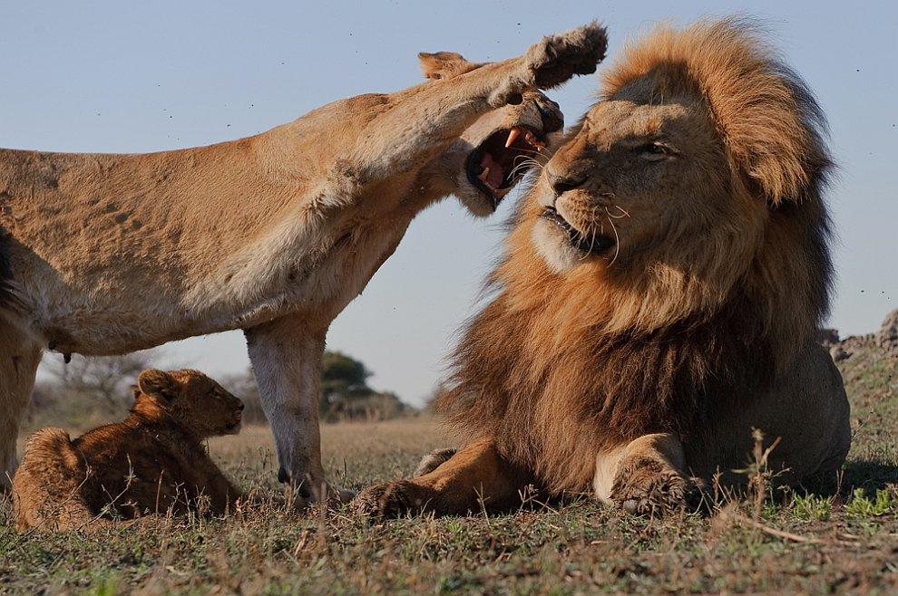 Днем, приколы картинки лев и львица