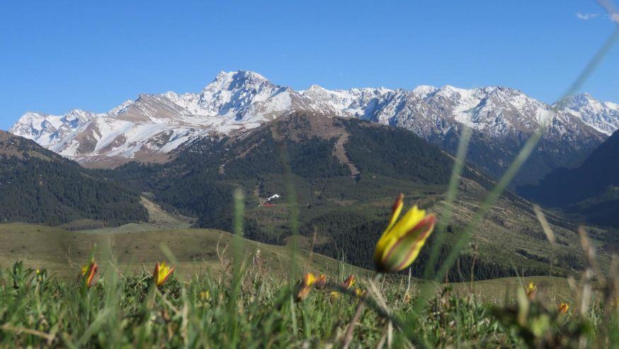 горные тюльпаны фото киргизия логотипа хотите придумать