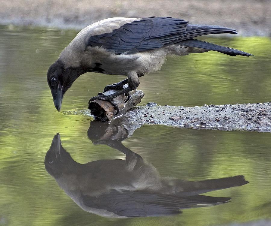 Вороны в картинках смешные