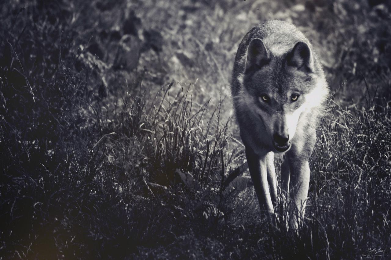 черно белое фото волка что сейчас