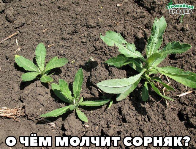 есть виды сорняков фото и названия фото, схем