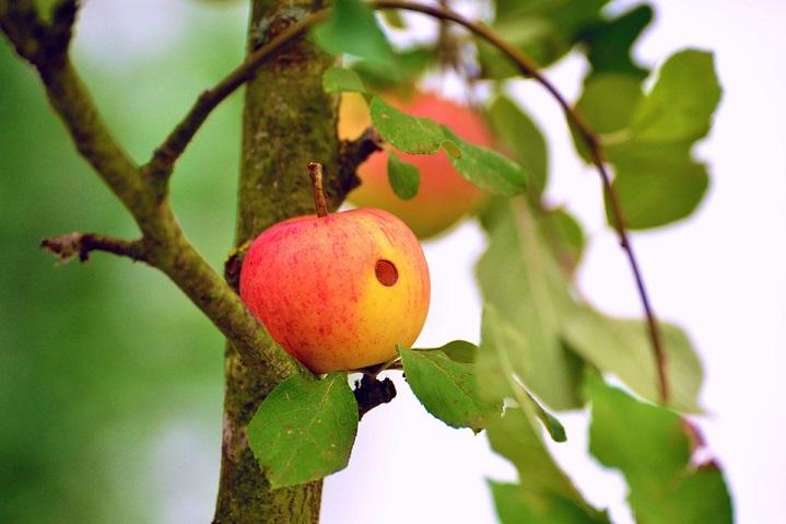 Висело яблоко на ветке (Светлана Сёмина) / Стихи.ру
