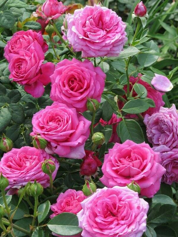 чайная роза чай
