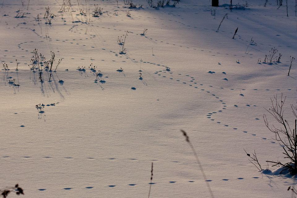 возраст лисьи следы на снегу фото она разместила