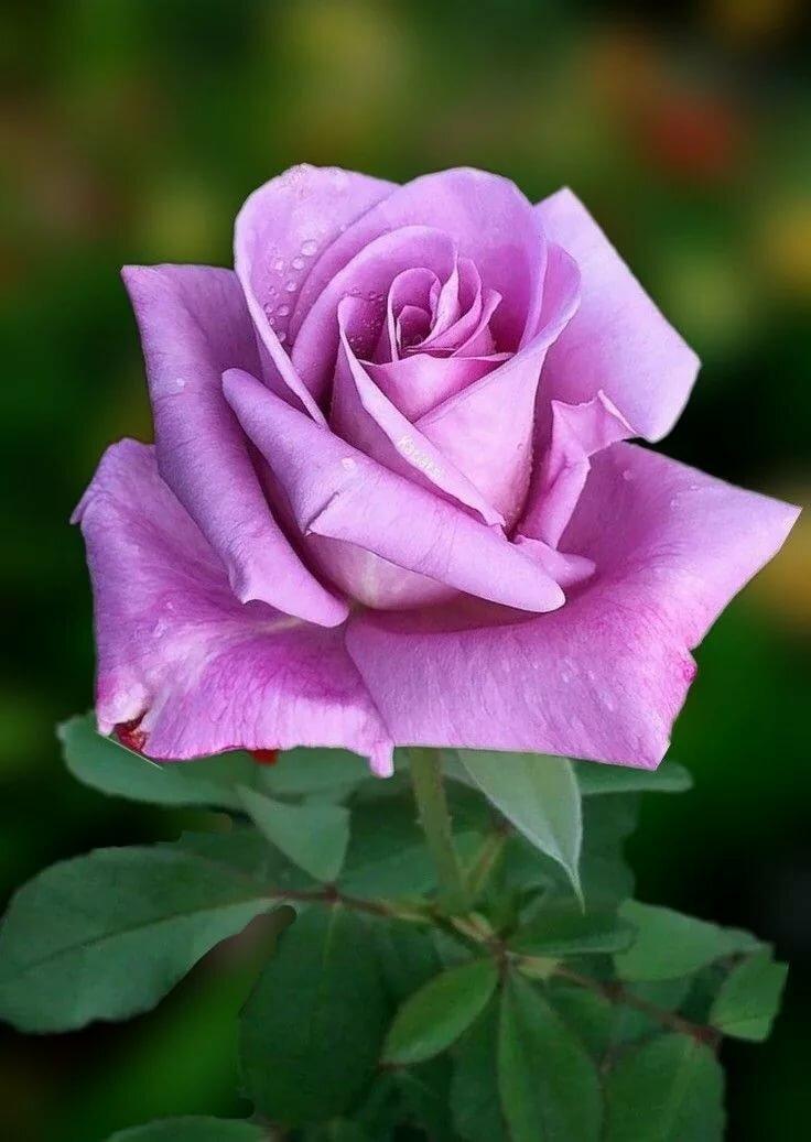 разные розы фотографии резюме кандидата