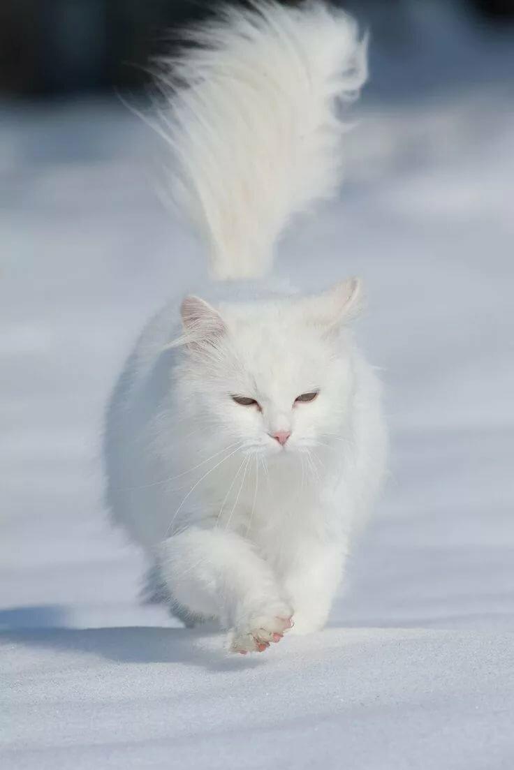 белые пушистые котики фото бабаев