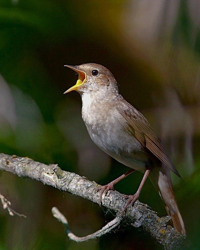 берут девушки соловей фото птицы когда поют расставлены широко