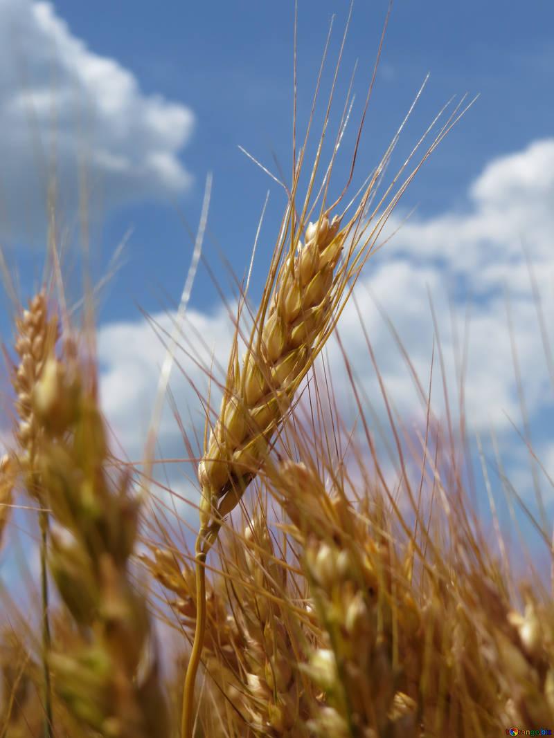 колосья пшеницы фото картинки рассмотрены основные