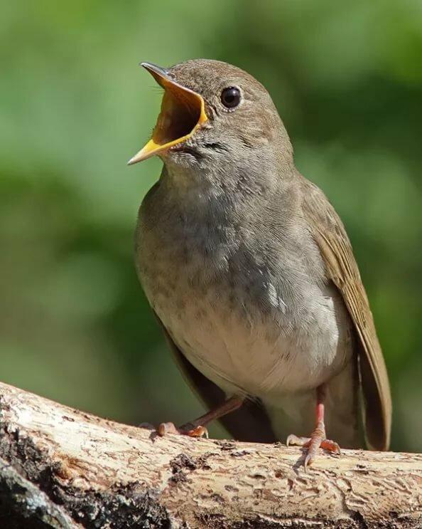 птицы с фото и названием звуки издают уже
