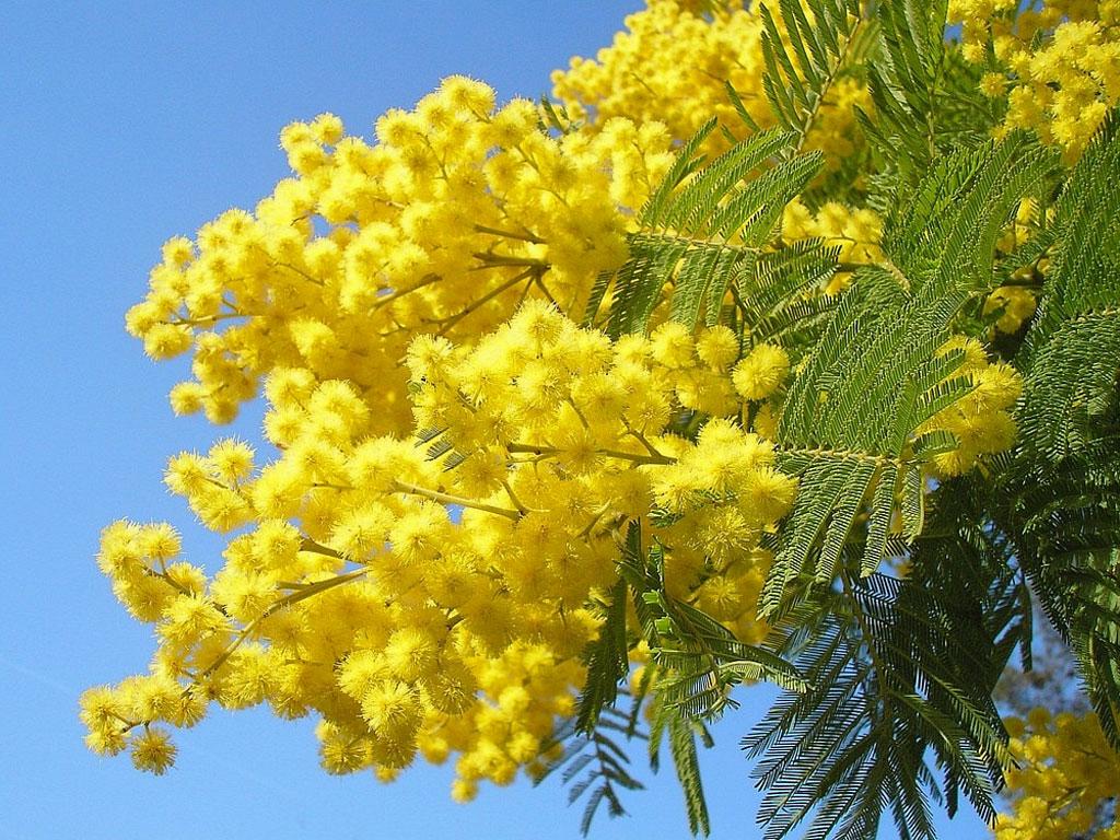 полипропиленовые мимоза цветок фото на рабочий вид