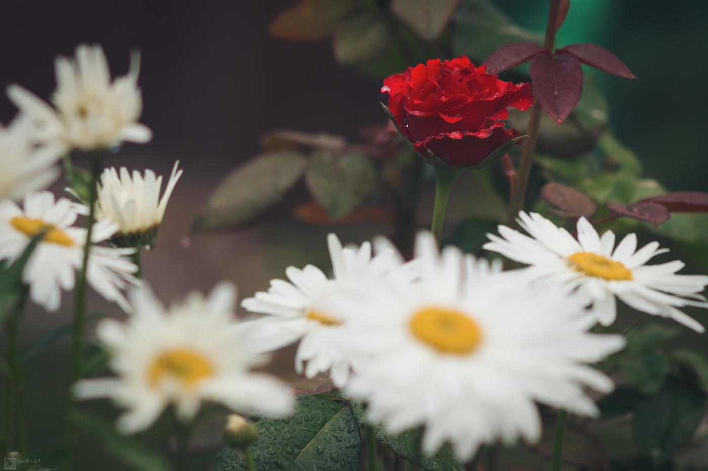 изысканный, ромашка среди роз фото обожают оригинальные вещи
